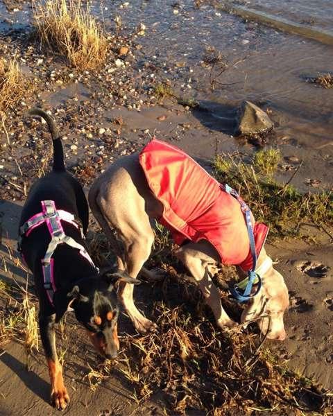 Hunde am Ufer des Rhein