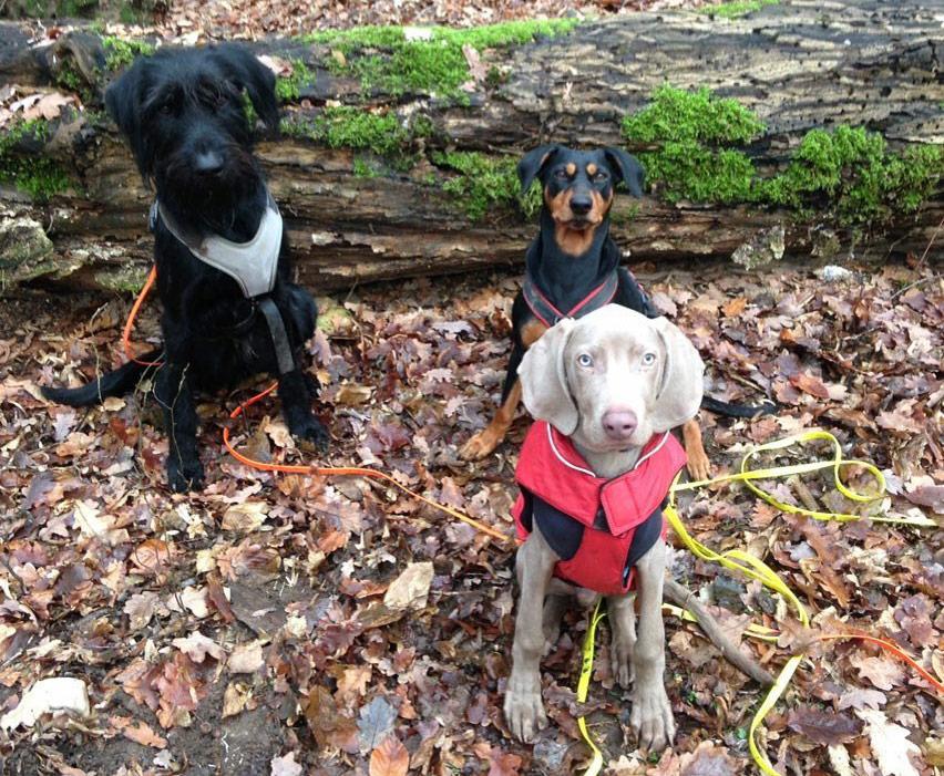 Kleines Dogwalking Rudel mit drei Hunden