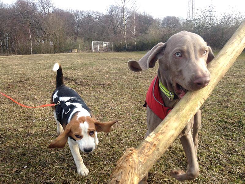 Hunde spielen mit einem großen Stock