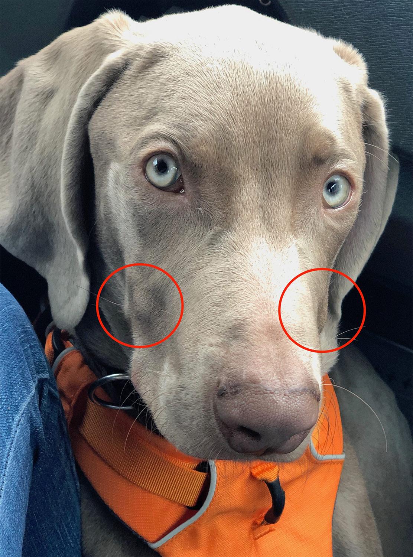 Hund mit beidseitigen Knubbeln an der Schnauze